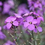 Wallflower Mighty Mauve