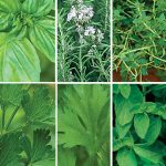 Fresh Herb Plants Gift Collection