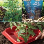 Beefsteak Tomato Growers Gift Kit