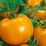 Tomato Chef's Choice Orange Hybrid