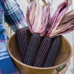 Corn Suntava Full Season Purple Hybrid