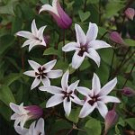 Clematis Princess Kate
