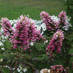 Hydrangea quercifolia Gatsby Pink PPAF