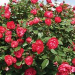 Rose Oso Easy Double Red PPAF