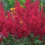 Astilbe Burgundy Red