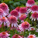 Echinacea purpurea Butterfly Kisses