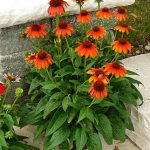 Echinacea Sombrero Flamenco Orange