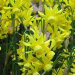 Daffodil Hawera