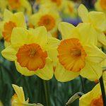 Daffodil Smiling Maestro