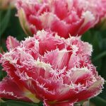 Tulip Cool Crystal