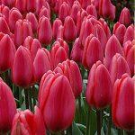 Tulip Cosmopolitan