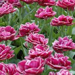 Tulip Dream Touch