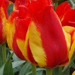 Tulip Kiev