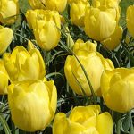 Tulip Kikomachi