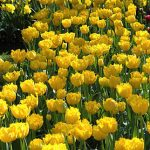 Tulip Mon Amour
