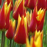 Tulip Sanaeda King