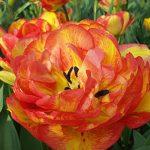 Tulip Sundowner