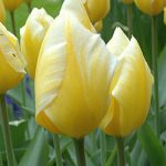 Tulip Sweetheart
