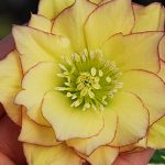Hellebore Sunshine Ruffles Winter Thriller