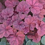 Heuchera Lava Lamp