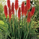 Kniphofia uvaria Red Rocket