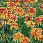 Echinacea Marmalade PPAF