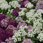 Alyssum Wonderland Mix