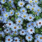 Crysanthemum Blue Knoll