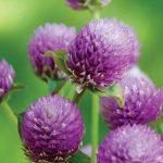Gomphrena QIS Lilac