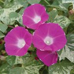 Morning glory Cameo Elegance