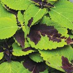 Coleus Chocolate Splash