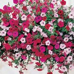 Petunia Tidal Wave Hybrid Mix