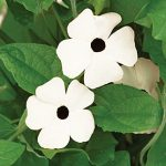 Thunbergia White Eyed Susie