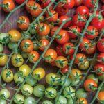 Tomato Cherry Baby Hybrid