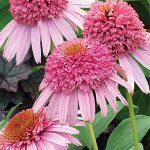 Echinacea Meteor Pink