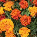 Marigold Triple Treat