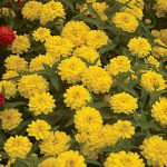 Zinnia Double Zahara Yellow