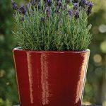 Lavender Bandera Purple
