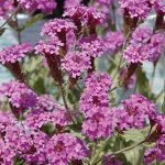 Verbena rigida Santos Purple