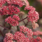 Sedum Oriental Dancer