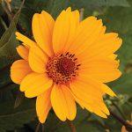 Heliopsis helianthoides Sweet Sunshine