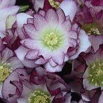 Helleborus Wedding Party Bridesmaid