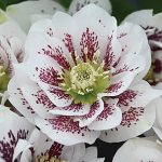 Helleborus Wedding Party Confetti Cake