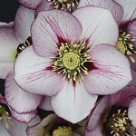 Helleborus Wedding Party French Kiss