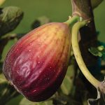 Fig Texas Blue Giant
