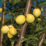 Apricot Koume
