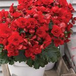 Begonia Vermillion Red