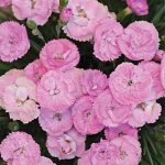 Dianthus Fruit Punch Sweetie Pie