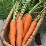Carrot Yaya Hybrid