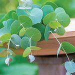 Herb Eucalyptus gunii 'Silverdrop'